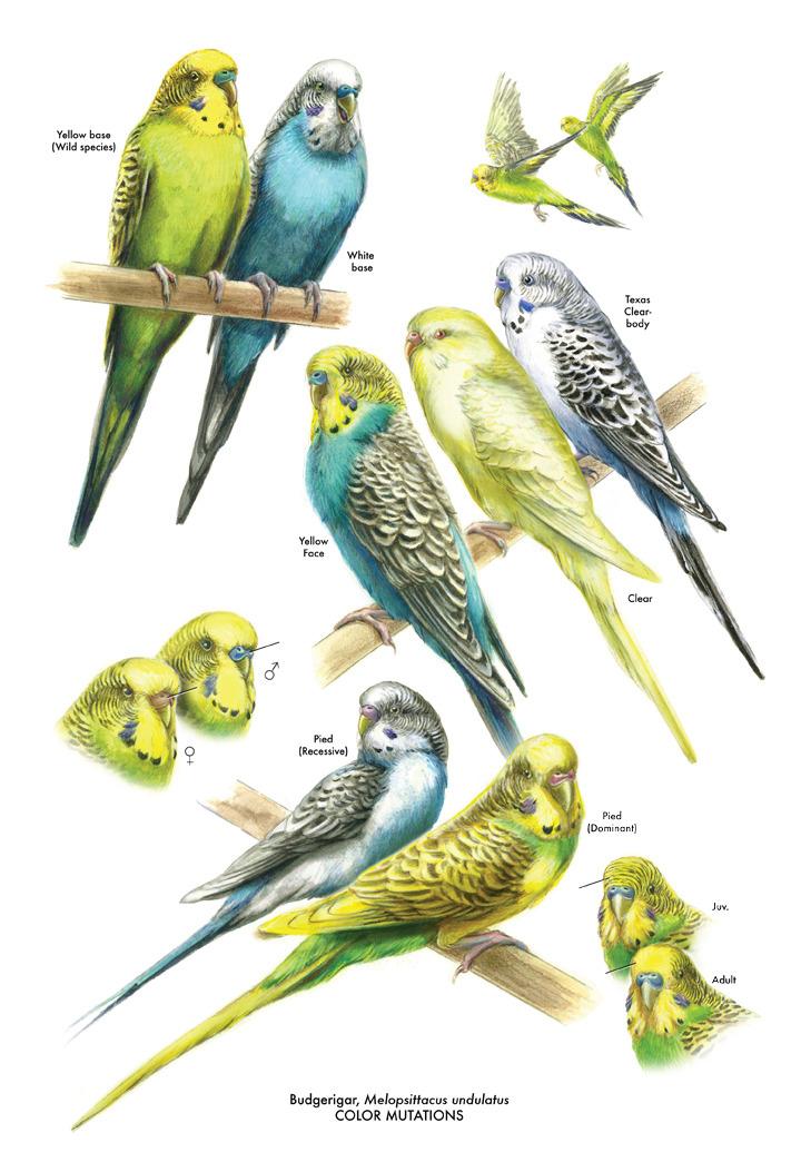 parakeet colors - photo #42